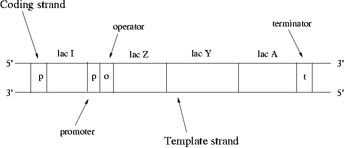 difference between template and coding strand - day 3 morning